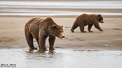 Crimp Ear and a second year bear fishing on the beach