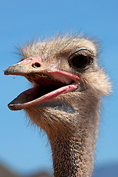 Close-up of an Ostrich's(Struthio camelus) screaming, South Africa
