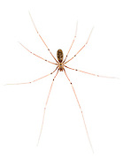 """Daddy Longlegs Spider - Pholcus phalangoides - Male. The common """"Daddy Long Legs"""" spider found indoors in the southern half of Britain."""