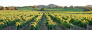 Vineyards in wine country. Panoramas (3:1 proportion) photographed in multi-image sequences to produce extremely large file sizes for wall murals up to 30 ft x 10 ft.