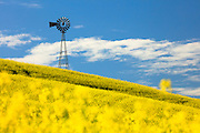 Mustard plants growing in Washington's Palouse region.