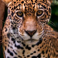 Onça-pintada (Panthera onca) fotografado em Goiás - Centro-Oeste do Brasil. Bioma Cerrado. Registro feito em 2015.<br /> ⠀<br /> ⠀<br /> <br /> <br /> <br /> <br /> <br /> ENGLISH: Jaguar photographed in Goias - Midwest of Brazil. Cerrado Biome. Picture made in 2015.