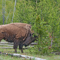 An American Bison (Bison bison) scratches its head on a Lodgepole Pine in Yellowstone National Park, Wyoming.