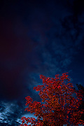 A tree with red leaves is seen below the dark autumn late evening sky. Missoula Photographer, Missoula Photographers, Montana Pictures, Montana Photos, Photos of Montana