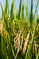 Rice on the stalk a couple of weeks away from harvesting in the ricefields of Arkansas
