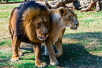 Lion Park, near Johannesburg, South Africa.