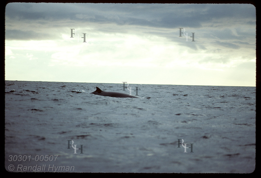 Minke whale surfaces as it glides through gray seas off Andenes on a cloudy August afternoon. Norway