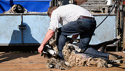 © Licensed to London News Pictures.26/08/15<br /> Egton, UK. <br /> <br /> A sheep shearer demonstrates the craft to spectators at the 126th Egton Show in North Yorkshire. <br /> <br /> Egton is one of the largest village shows in the country and is run by a band of voluntary helpers. <br /> <br /> This year the event featured wrought iron and farrier displays, a farmers market, plus horse, cattle, sheep, goat, ferret, fur and feather classes. There was also bee keeping, produce and handicrafts on display.<br /> <br /> Photo credit : Ian Forsyth/LNP