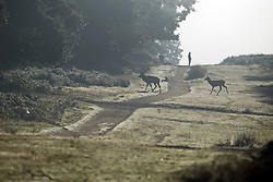 © London News Pictures. 06/10/2013. Richmond, London, UK.  Deer cross a path in early morning mist at sunrise in autumn at Richmond Park, West London. The UK is experiencing an unusually warm start to the Autumn with temperatures reaching 20 degrees in parts.  Photo credit: Ben Cawthra/LNP
