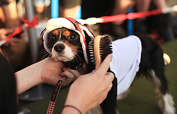 © Licensed to London News Pictures. 17/06/2014. London, UK. Charles Spaniel, Ruby, gets ready on a hipster costume for the Cannt Crufts annual dog show at the Queen of Hoxton's rooftop, east London. Photo credit : LNP