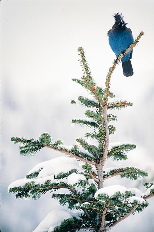 Stellar's Jay, winter, Mount Rainier National Park, Washington, USA