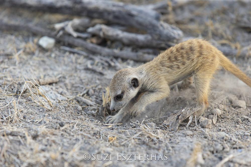 Meerkat<br /> Suricata suricatta<br /> Six-week-old pup digging for insects<br /> Makgadikgadi Pans, Botswana