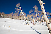 Fresh ski tracks through an open aspen grove in Uncompahgre National Forest, Colorado.
