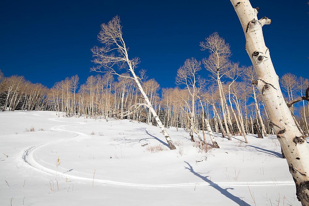 Fresh ski tracks through an open aspen grove in Uncompahgre National Forest, Colorado.