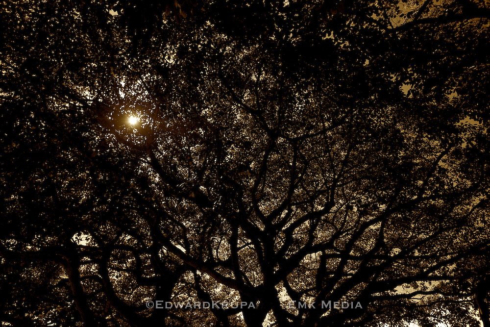 Palm Beach Island Banyan Tree.