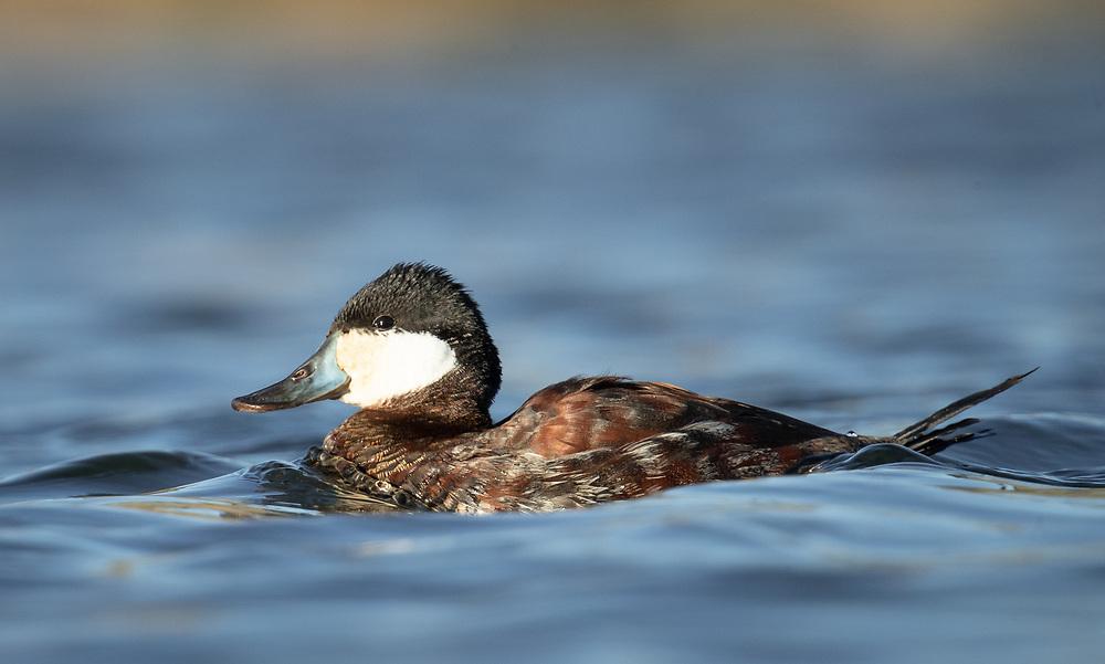 Oxyura jamaicensis, wintering male, urban pond in east Austin, Texas, February 2021