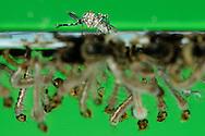 """Yellow fever mosquito, Aedes aegypty, hatches on water surface out of pupa. Lots of larvae and pupae under water surface. Smallest amount of water is enough for egg deposition. Larvae growing up in water, they slough four times and pupate. After 2 days the adult mosquito hatches out of the pupa. The hole development cycle needs 10 days by optimal conditions - the cooler the longer. Distribution: worldwide in all subtropical and tropical areas. The mosquito can spread the yellow fever, dengue fever and other diseases. This picture is part of the series """"Escape into life""""..Gelbfiebermücke oder Ägyptische Tigermücke, Aedes aegypti, schlüpft auf der Wasseroberfläche aus ihrer Puppenhülle. Eine Masse von Larven und Puppen schwimmt dicht unter der Wasseroberfläche. Zur Eiablage genügen kleinste Mengen stehendes Wasser. Die Larven entwickeln sich im Wasser, wo sie sich viermal häuten und dann verpuppen. Nach 2 Tagen schlüpft aus der Puppe die fertige Mücke. Der gesamte Entwicklungszyklus dauert bei optimalen Bedingungen 10 Tage - je kühler desto länger dauert es. Verbreitung: weltweit in allen subtropischen und tropischen Regionen. Die Mücke ist der Hauptüberträger von Gelbfieber, Dengue-Fieber und anderen Viruserkrankungen. Diese Bild ist Teil der Serie ,,Ausbruch ins Leben""""."""
