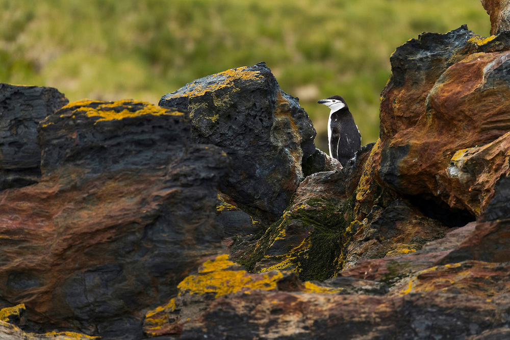 Chinstrap penguin on rocks on Thursday, Feb. 1, 2018 in Cooper Bay, South Georgia. (Photo by Ric Tapia)