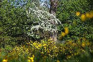 Europa, Deutschland, Nordrhein-Westfalen, Troisdorf, die Wahner Heide, bluehender Ginster und bluehender Weissdorn. - <br /> <br /> Europe, Germany, Troisdorf, North Rhine-Westphalia, in the Wahner Heath, blooming genista and blooming whitethorn.