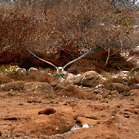 South America, Ecuador, Galapagos Islands. Blue-footed Booby in flight.
