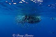 Bryde's whale, Balaenoptera brydei or Balaenoptera edeni, feeding on baitball of sardines, Sardinops sagax, off Baja California, Mexico ( Eastern Pacific Ocean ) #4 in sequence of 6