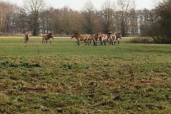 Przewalskipaard, Equus ferus przewalskii