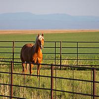 USA, Idaho, Driggs. Horse in a field of farmland near Driggs, idaho.