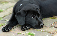 Haddon Heights, New Jersey - Chase, a black Labrador puppy, rests on a backyard patio on April 4, 2010.