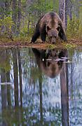 Brow bear (Ursus arctos) feeding at a lake in eastern Finland.