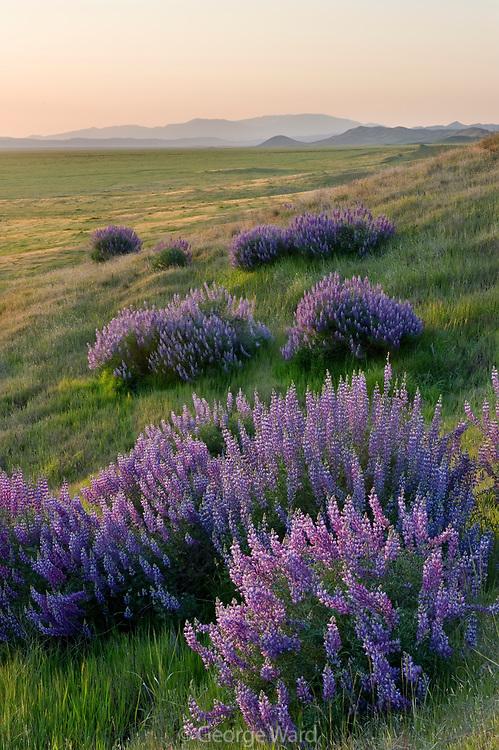 Lupine at Sunrise along the Caliente Range, Carrizo Plain National Monument, California