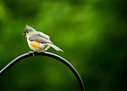 A Tufted Titmouse Looks Back At The Camera From Atop The Feeder Pole