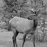 Small Antler Bull Elk - Meadow - Yellowstone National Park - Infrared Black & White