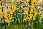Fall larch trees above Lake Agness, Banff National Park, Alberta, Canada