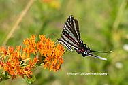 03006-00510 Zebra Swallowtail (Protographium marcellus) on Butterfly Milkweed (Asclepias tuberosa) Marion Co. IL