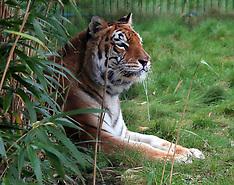 Tigers Isleof Wight Zoo