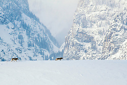 """Wolves moving through the landscape in Grand Teton National Park in Jackson Hole Wyoming, Death Canyon is the landmark in the background<br /> <br /> For production prints or stock photos click the Purchase Print/License Photo Button in upper Right; for Fine Art """"Custom Prints"""" contact Daryl - 208-709-3250 or dh@greater-yellowstone.com"""