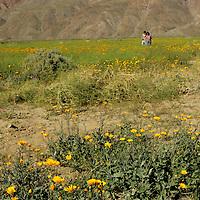 USA, California, San Diego County. Couple amidst Desert Wildflowers of Anza-Borrego.