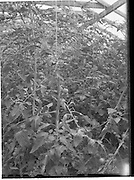 31/05/1960<br /> 05/31/1960<br /> 31 May 1960<br /> Tomato plants at Elton Nurseries, Sandycove, Dublin.