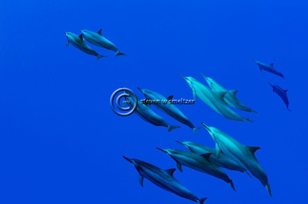 Spinner Dolphin, Stenella longirostris longirostris, Molokai Hawaii
