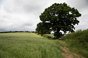 Oat field on agricultural farmland near Alvechurch, United Kingdom.