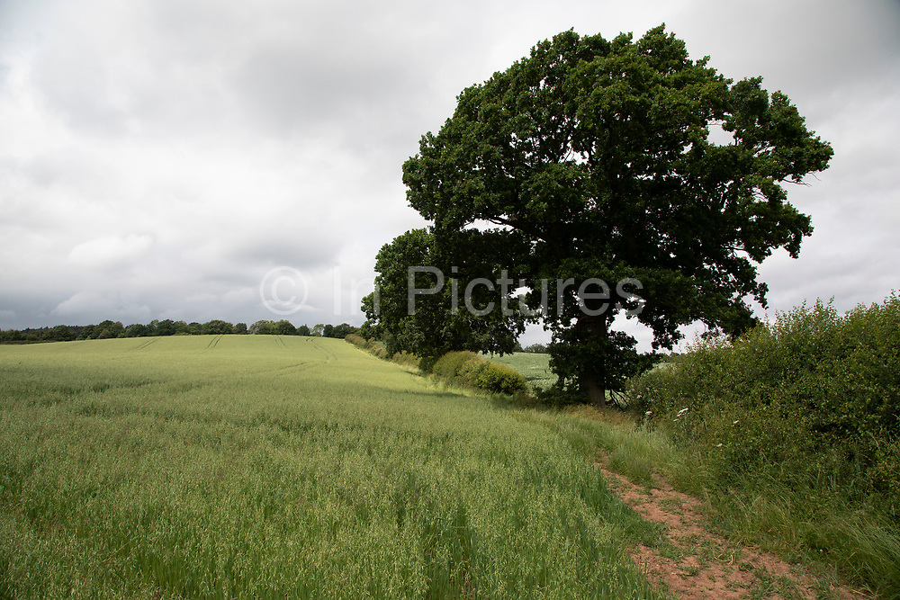 Oat field on agricultural farmland near Alvechurch, United Kingdom.