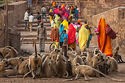 Hanuman Langur or Black-faced, Common or Grey Langur (Presbytis entellus) and Pilgrims in Ranthambhore National Park. Rajasthan. INDIA. <br /> HABITAT & RANGE: Forests, from plains up to 3,600 meters elevations in the Himalaya, open areas, villages and towns of India, Nepal, Bhutan, Bangladesh, Sri Lanka and N. Pakistan. In Ranthambhore they are often found around the Fort area.<br /> They are more arboreal than the Rhesus Macaque that inhabitats similar areas. They do however spend a considerable time on the ground foraging and visiting salt licks. Hanuman langurs are diurnal although most active early mornings and late afternoons. They walk and run on all four feet, leap with hind limbs and land on fore and hind limbs. They fequently  associate with chital deer and Rhesus macaques. Feed on shoots, leaves, flowers, buds and fruit and occasionally raid crops.<br /> STATUS: Abundant but Protected in the Hindu regions as it is regarded as the Monkey-God, Hanuman, from the Hindu epic, Ramayana, hence the name.<br /> Ranthambhore National Park was established as a sanctuary in 1955 as a tiger reserve in 1973 and a national park in 1981. The park is dominated by the ruins of the 1,000 year-old Ranthambhore Fort.