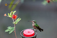 Broad Billed Hummingbird at the Arizona Sonoran Desert Museum in Tucson, Arizona, USA