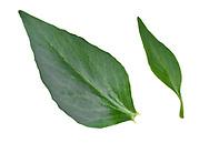Red Valerian - Centranthus ruber