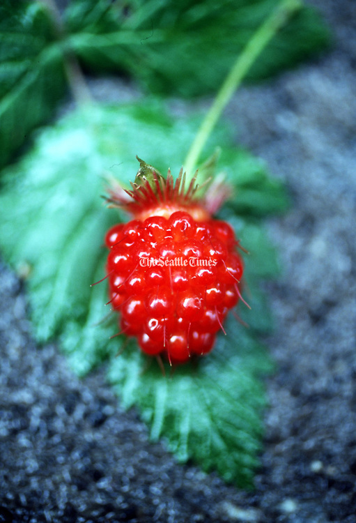 A ripe salmon berry. (Harley Soltes / The Seattle Times, 1998)