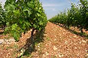 Vines. Vineyard. Biblia Chora Winery, Kokkinohori, Kavala, Macedonia, Greece