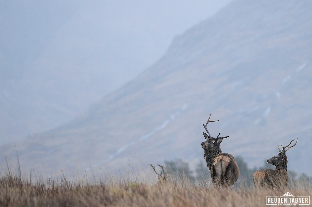 The monarch of the glen, a red deer stag looks back over it's shoulder on a cold winters day in Glen Etive, Scotland.