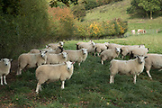 Sheep sheltering from the sun in British countryside in September near to Coughton, England, United Kingdom.