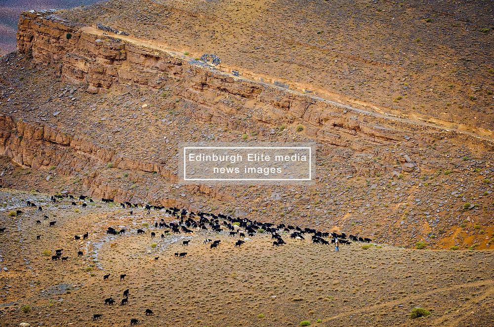 A large flock of sheep and goats graze the barren hillsides of the Dades Valley, Morocco<br /> <br /> (c) Andrew Wilson   Edinburgh Elite media