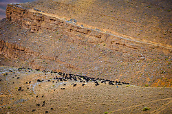A large flock of sheep and goats graze the barren hillsides of the Dades Valley, Morocco<br /> <br /> (c) Andrew Wilson | Edinburgh Elite media